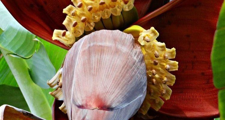 8 avantages méconnus de la fleur de bananier pour la santé